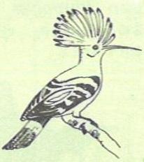 Upupa epops Linnaeus, 1758