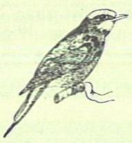 Merops nubicus Gmelin, 1788